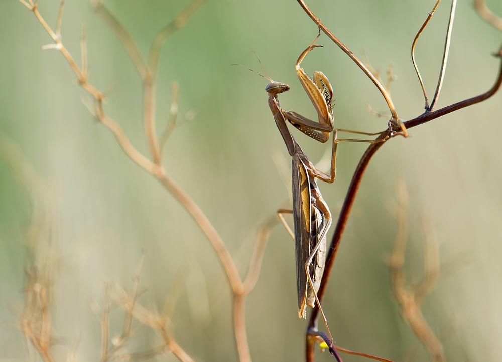 Europäische Gottesanbeterin - Mantis religiosa