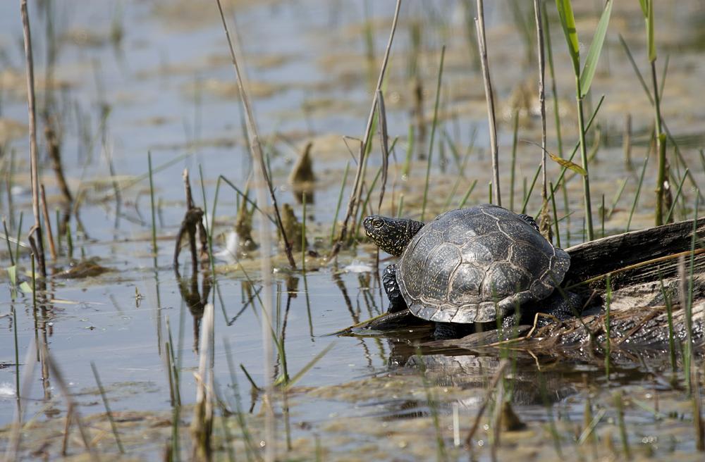 - Europäische Sumpfschildkröte (Emys orbicularis) -