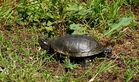 Europäische Sumpschildkröte