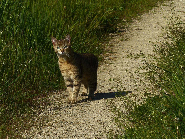 Europäische Wildkatze-2