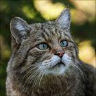 Europäische Wildkatze / 2