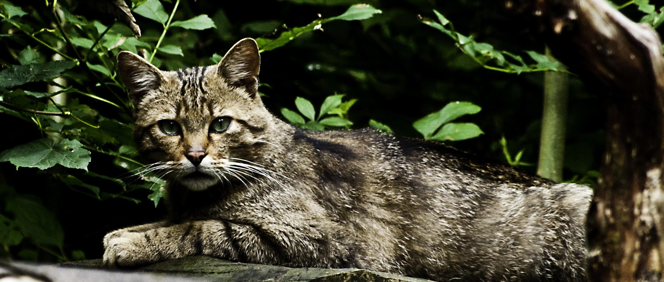 Europäische Wildkatze