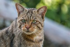 Europäische Wildkatze - Felis silvestris silvestris
