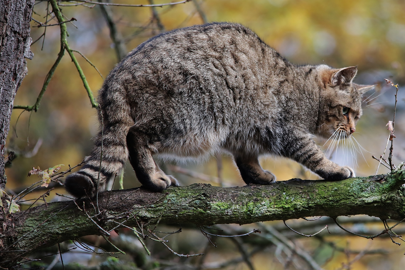Europäische Wildkatze (Felis silvestris silvestris)