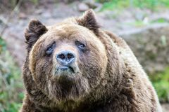 Europäischer Braun Bär 2