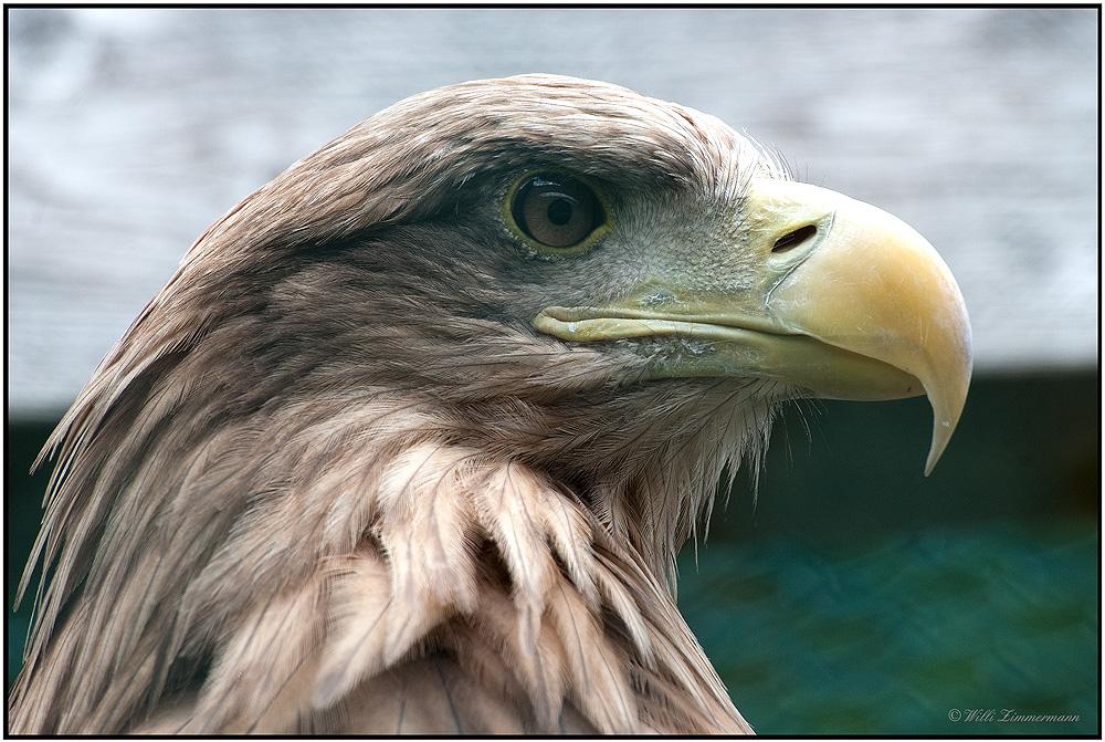Europäischer Seeadler, Blick zurück...