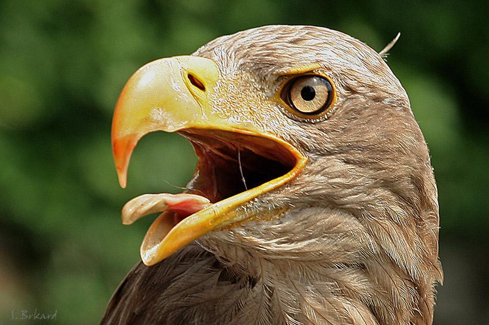 Europäischer Seeadler....
