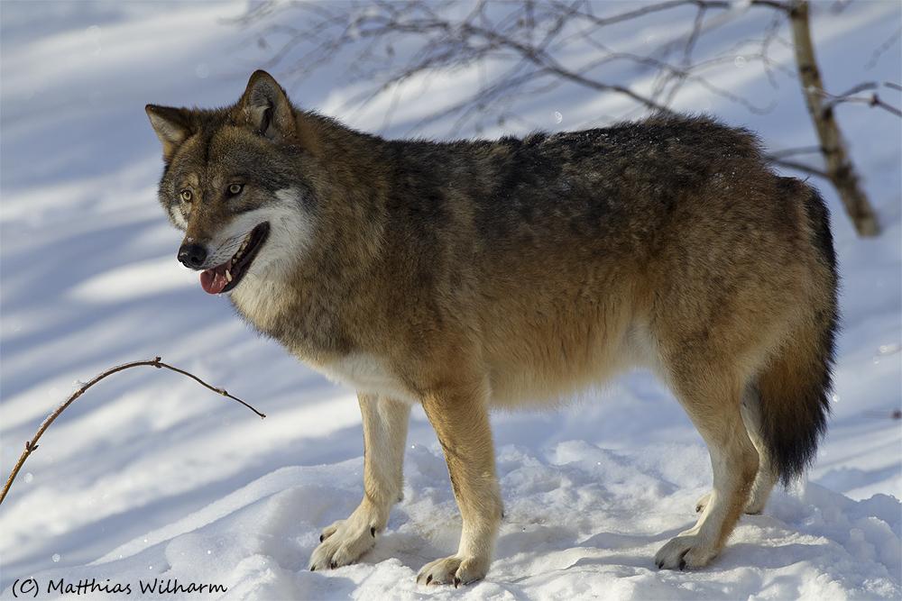 Europäischer Wolf - Wachsam