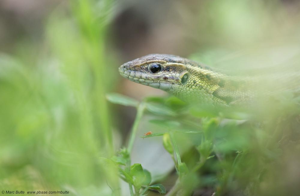 Europäisches Schlangenauge