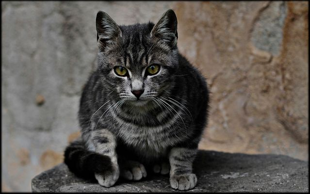 European tabby cat