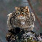 EUROPEAN WILDCAT (16)