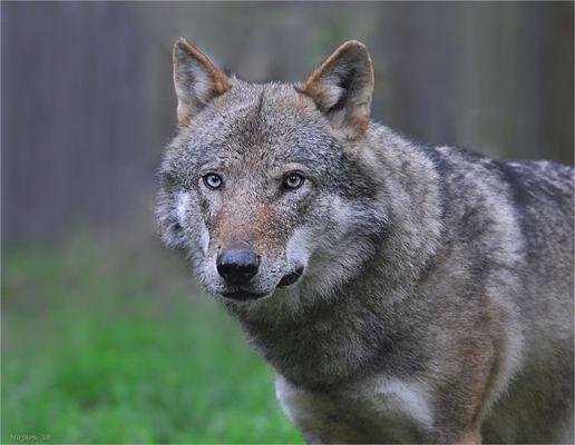 European Wolf (4) ..