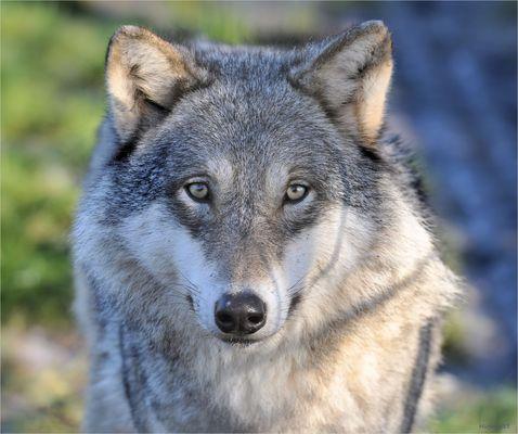 European wolf ..