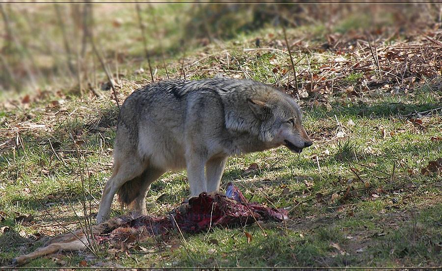 European Wolf #