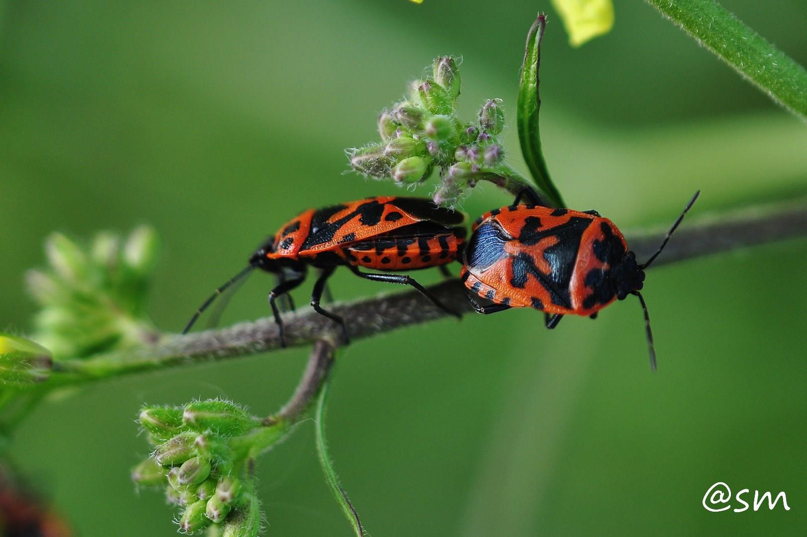 Eurydema ornata (Pentatomidae)