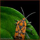 Eurydema ornatum