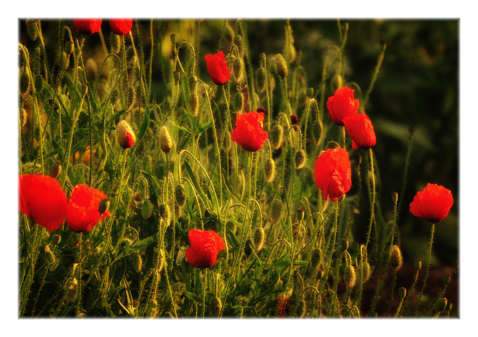 evening sun on poppies ...