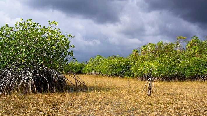 Everglades Mangrovenwald