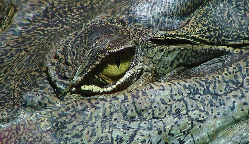 Evil Eye 2 - Saltwater Crocodile