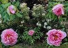 Evolution d'une fleur de pivoine