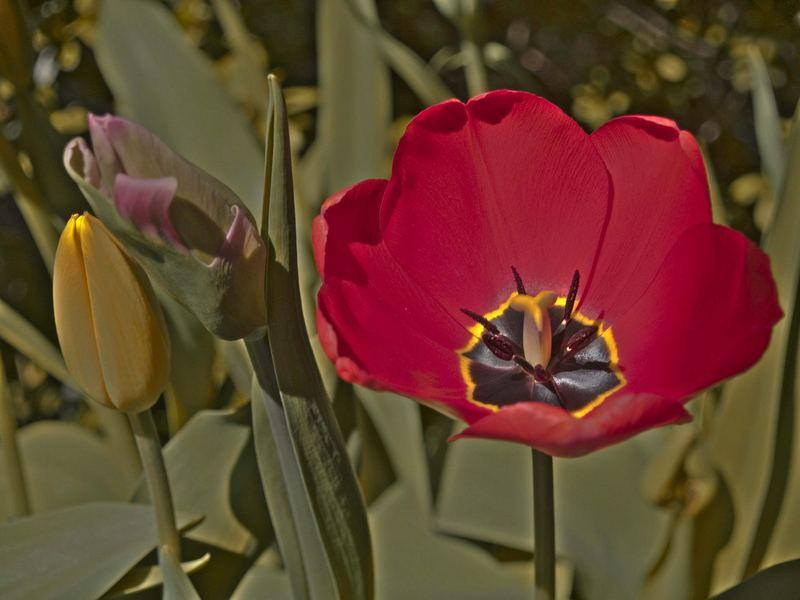 Evolution of Tulip