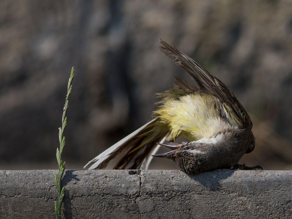 excentric yellow wagtail