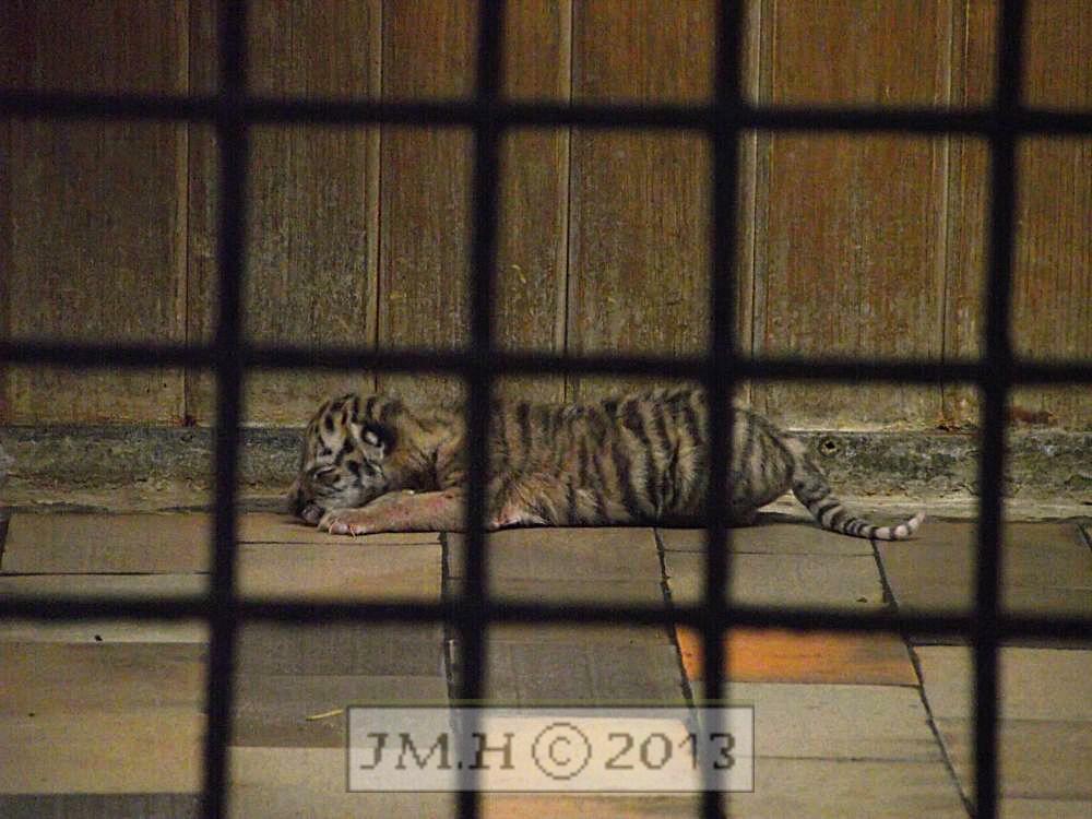 Exklusiv Foto – Tiger Baby 1