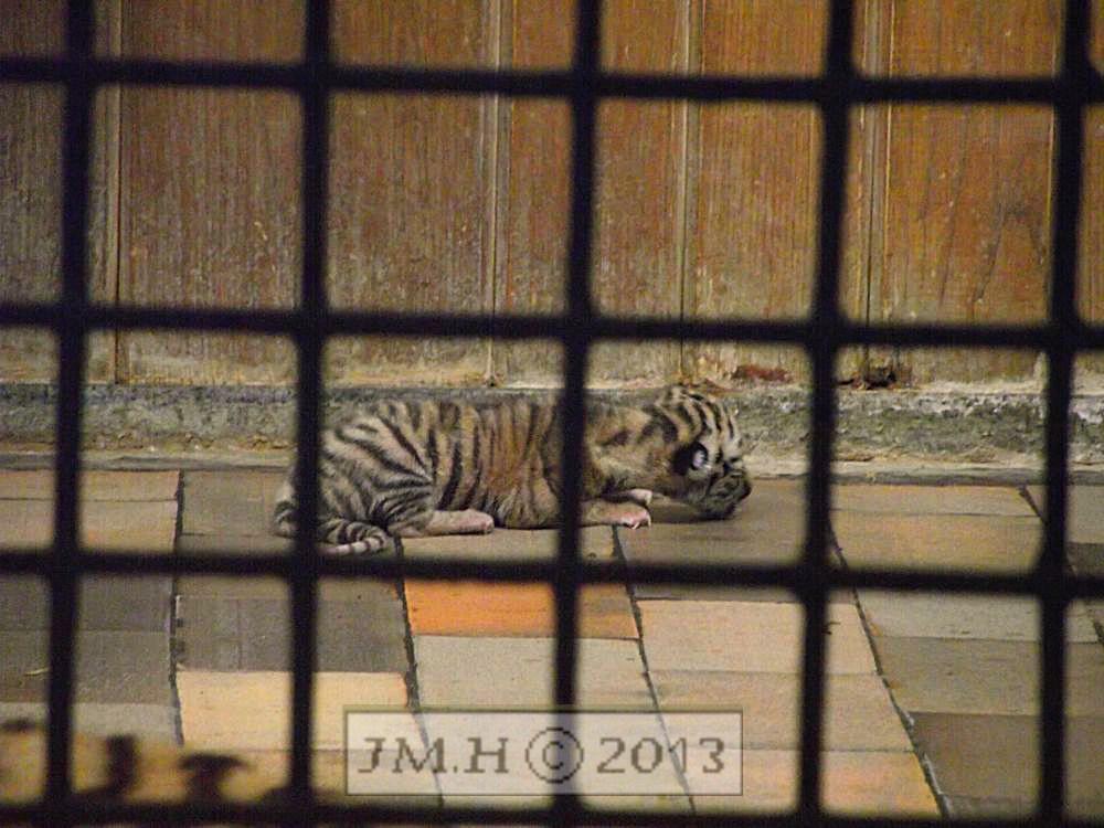 Exklusiv Foto – Tiger Baby 2