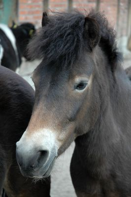 Exmoor-Pony  im Zoo Hannover