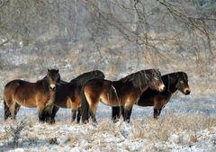 Exmoor Ponys in der Nordoer Heide