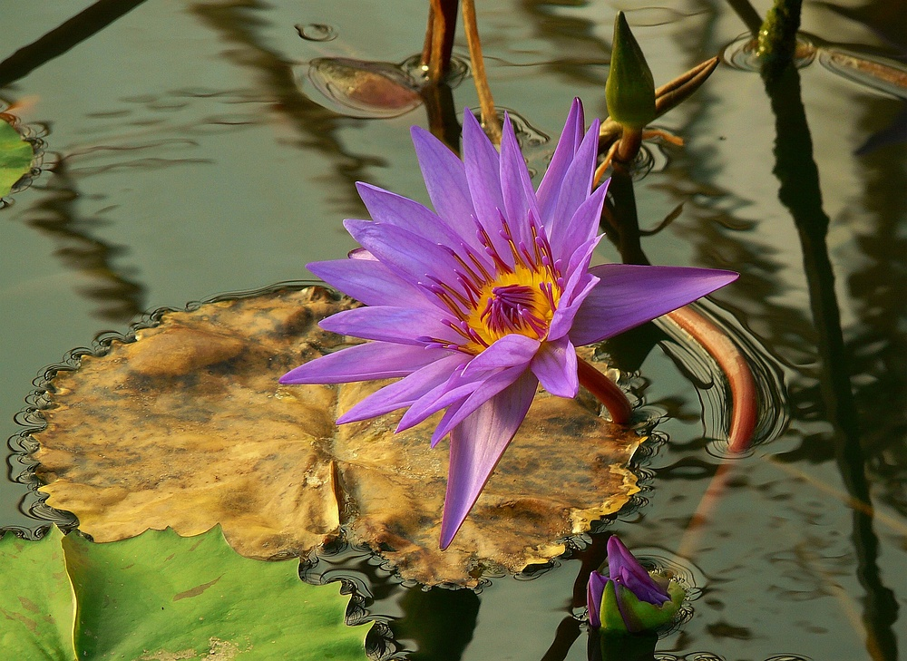 Exotic Beauty (1) : Egyptian Water Lily