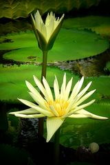 Exotic Beauty (101) : Egyptian White Waterlilly