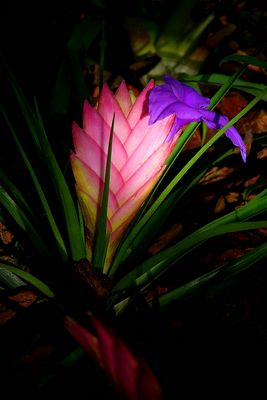 Exotic Beauty (102) : Pink Quill