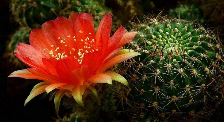 Exotic Beauty (104) : Lobivia arachnacantha