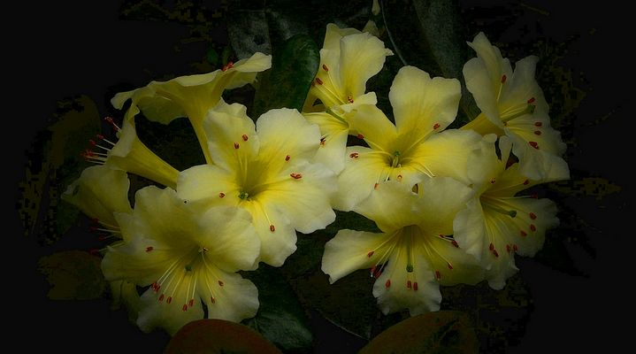 Exotic Beauty (105) : Rhododendron lemon spice x gardenia