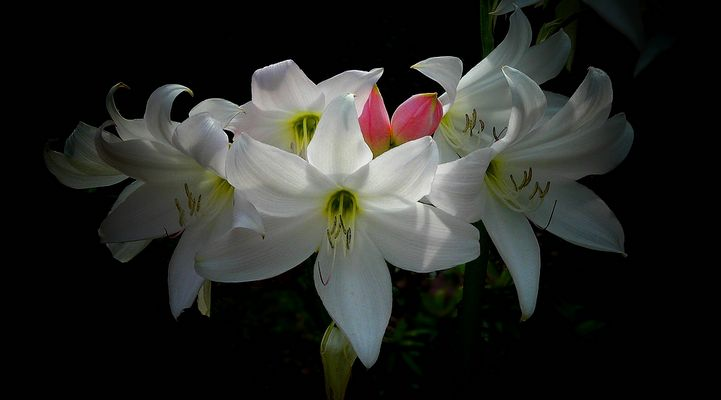 Exotic Beauty (106) : White Powell Lily