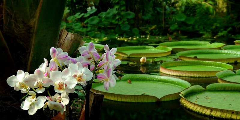 Exotic Beauty (111) : Philippine Moth Orchid & Giant Amazon Water Lily