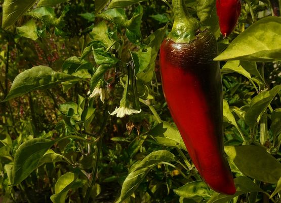 Exotic Beauty (13) : Paprika