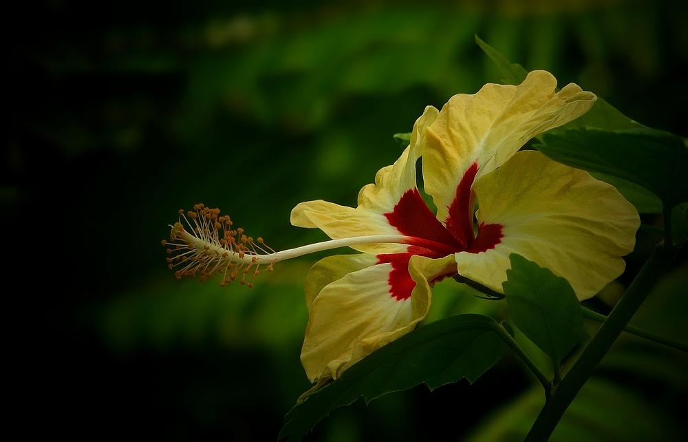 Exotic Beauty (36) : Yellow hibiscus