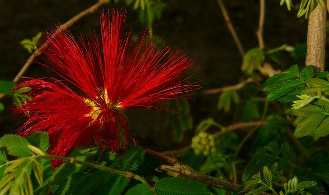 Exotic Beauty (44) : Mexican Flame Bush