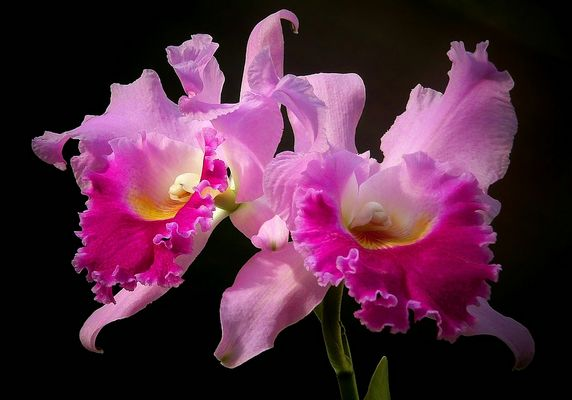 Exotic Beauty (76) : Warscewicz's Cattley's orchid