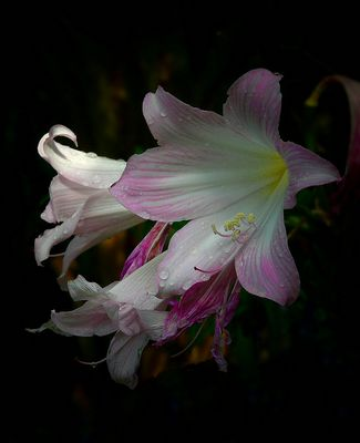 Exotic Beauty (81) : Belladonna Lily