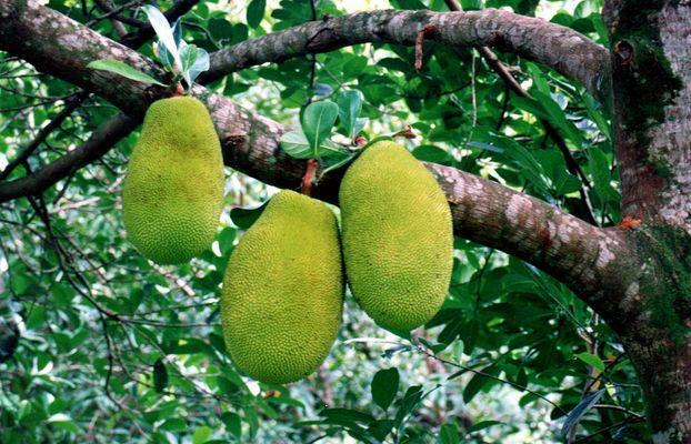 Exotische Früchte auf Hawaii Scann von 1992