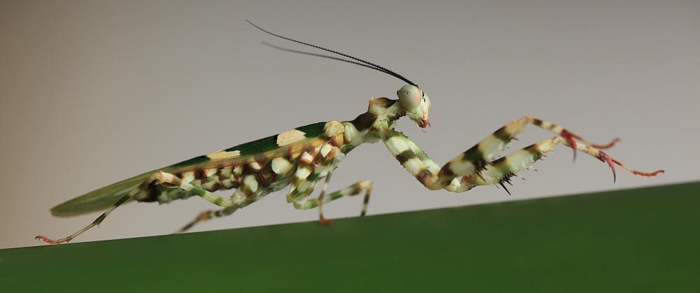 Exotische Mantis