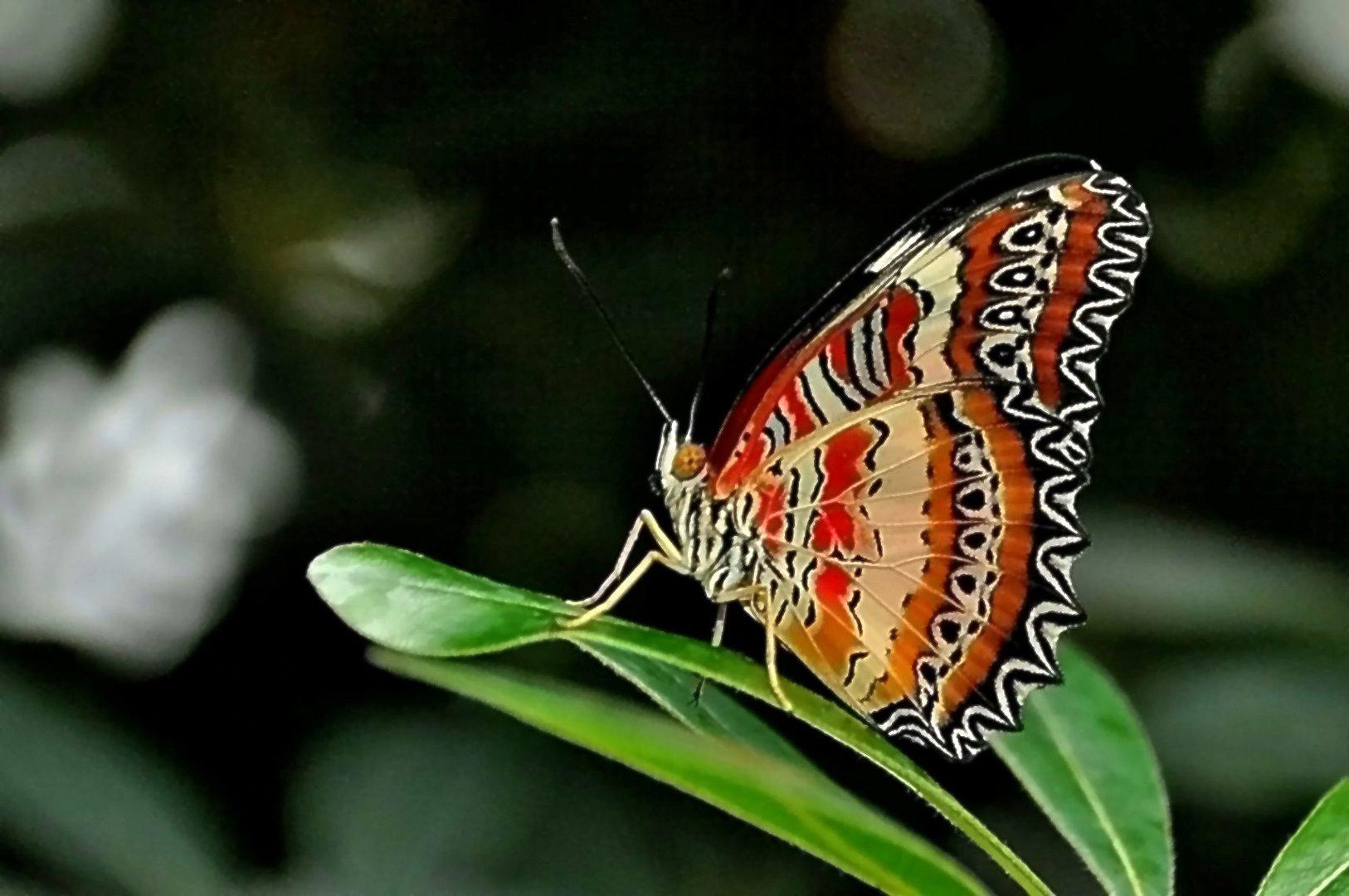 exotischer schmetterling 07 foto bild tiere insekten natur bilder auf fotocommunity. Black Bedroom Furniture Sets. Home Design Ideas