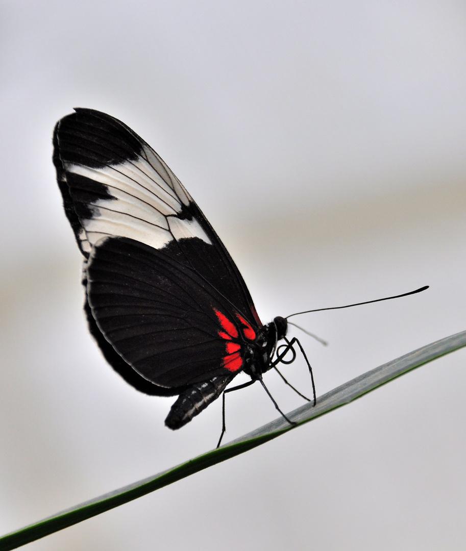 Exotischer Schmetterling ( 11 )