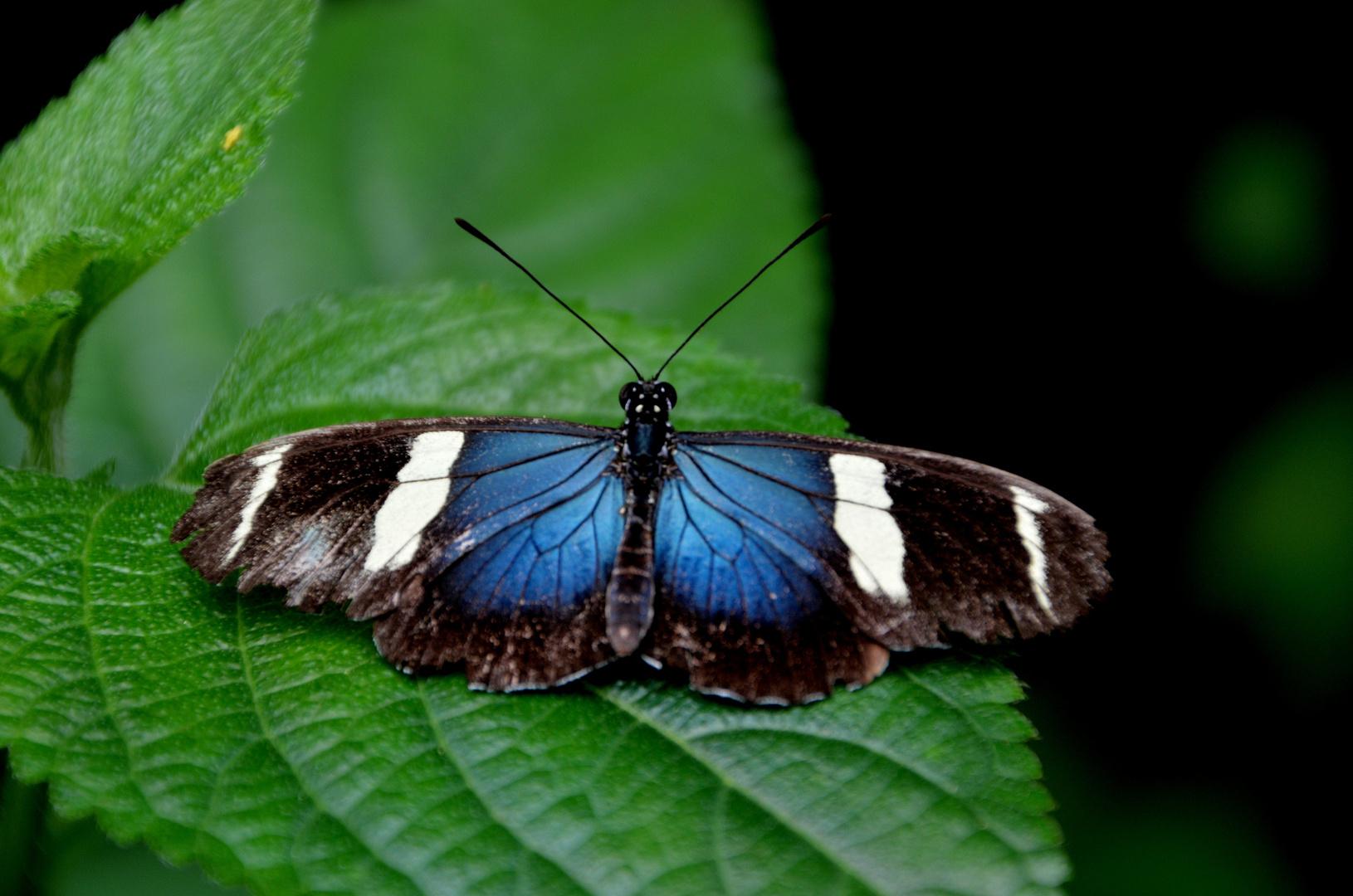Exotischer Schmetterling ( 12 )