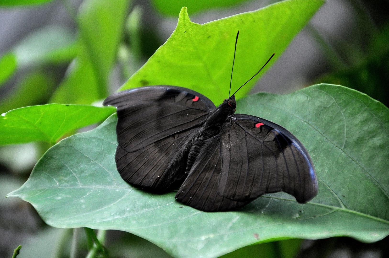 Exotischer Schmetterling ( 14 )