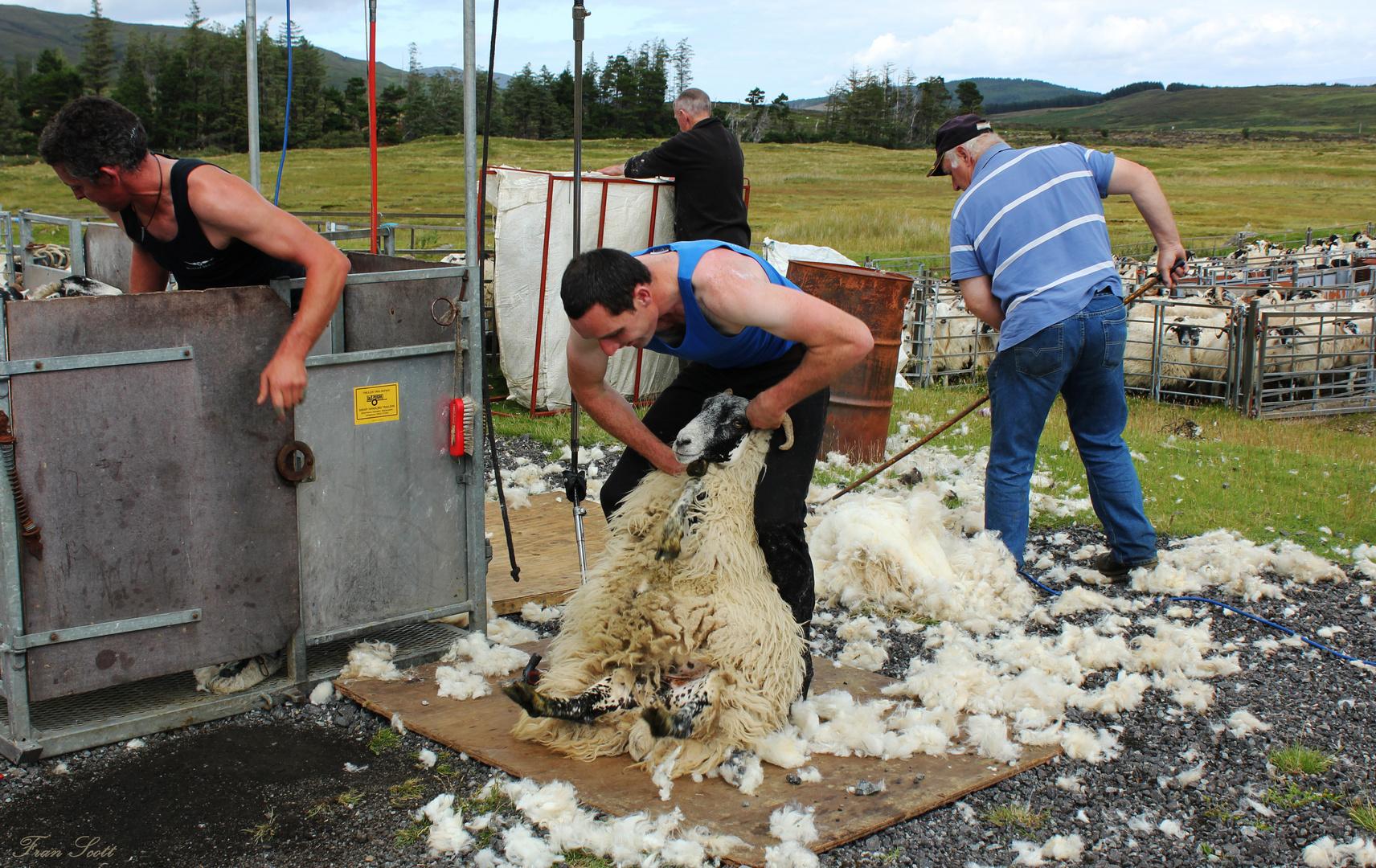 Experience my Scotland XXXIX: Shear the Sheeps