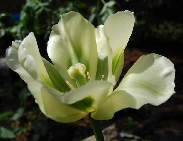 extravagante Tulpe